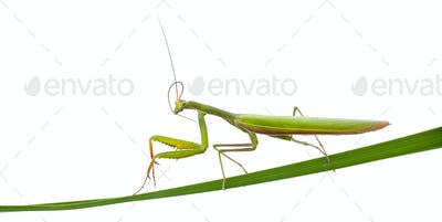 Female European Mantis or Praying Mantis