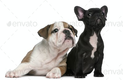 French Bulldog puppy and English Bulldog puppy, 8 weeks old, looking up in front of white background