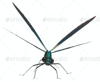Male Banded Demoiselle, Calopteryx splendens, in front of white background