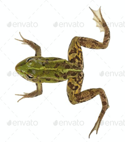 Edible Frog, Rana esculenta, in front of white background
