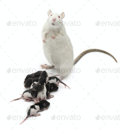 Fancy Rat next to its babies and looking at the camera in front of white background