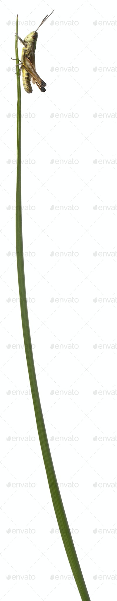 Grasshopper on a grass blade in front of white background