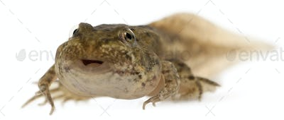 Edible Frog, Rana esculenta, around 12 weeks old after hatching, in front of white background