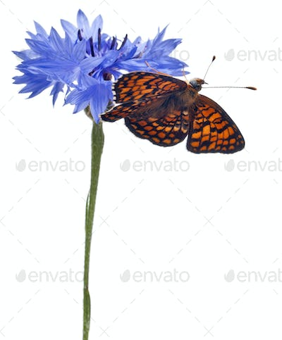 Knapweed Fritillary, Melitaea phoebe, on cornflower in front of white background