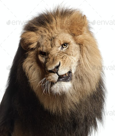 Close-up of lion snarling, Panthera leo, 8 years old, in front of white background