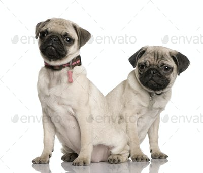 Two pug puppies, 3 and 4 months old, sitting in front of white background