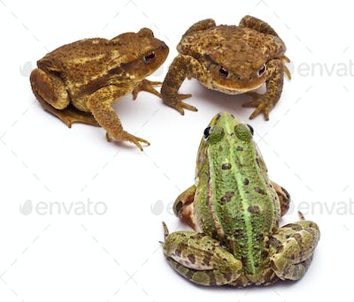 Common European frog, facing common toads