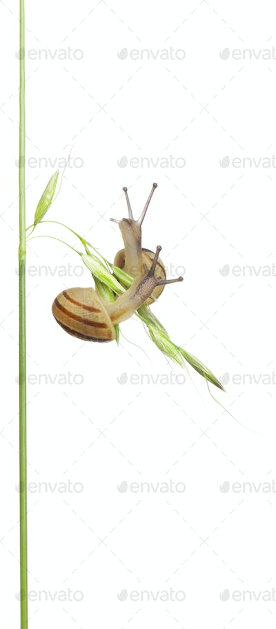 Two White Garden Snails or Mediterranean snail, Theba pisana, in front of white background
