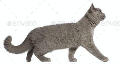 British Shorthair kitten, 3 months old, walking in front of white background