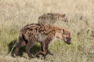 Hyenas in Serengeti National Park, Tanzania, Africa