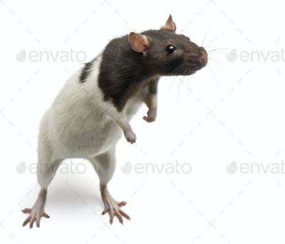 Fancy Rat standing up in front of white background