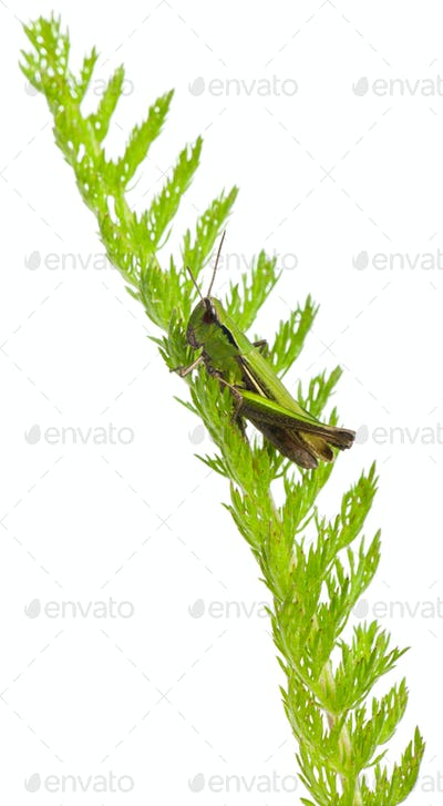 Cricket on a plant in front of white background