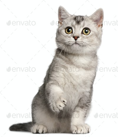 British Shorthair kitten, 4 months old, sitting in front of white background