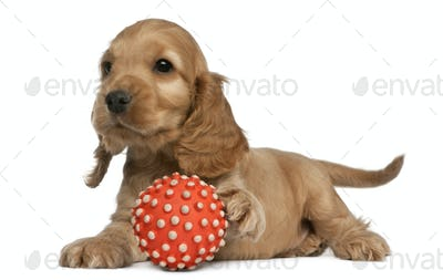 English Cocker Spaniel playing with a ball, 8 weeks old, in front of white background