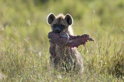 Hyena in Serengeti National Park, Tanzania, Africa