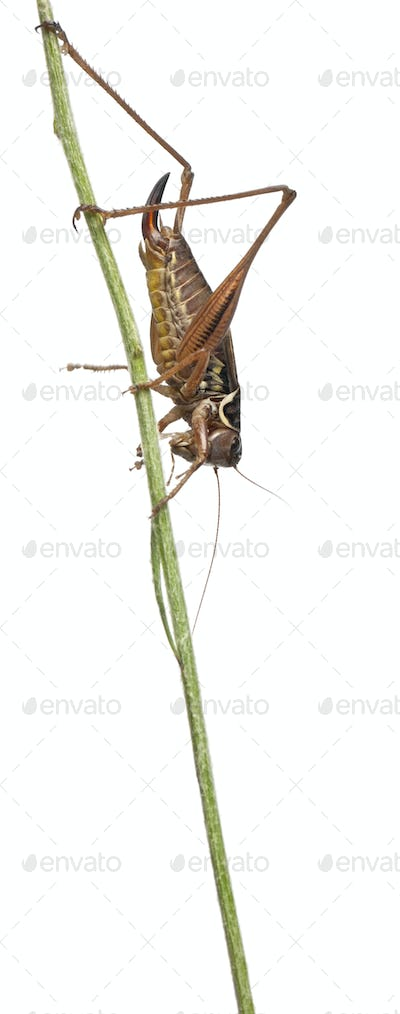 Female Shield-back Katydid, Platycleis tessellata, in front of white background