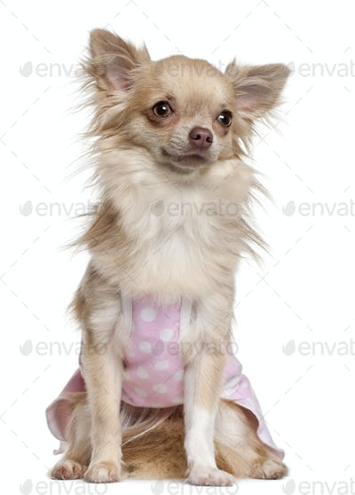 Chihuahua in pink , 11 months old, sitting in front of white background