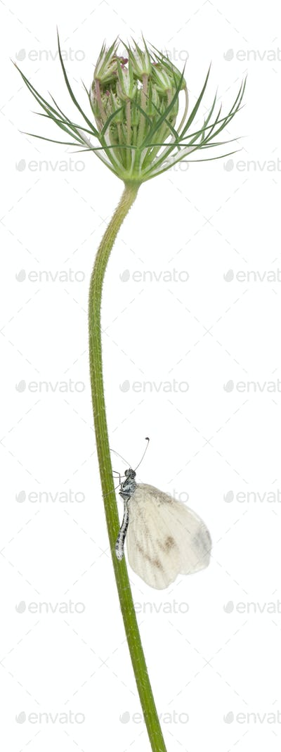 Wood White, Leptidea sinapis, on plant in front of white background
