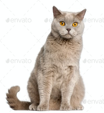 British Shorthair cat, 2 years old, sitting in front of white background