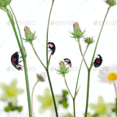 Asian lady beetles, or Japanese ladybug or the Harlequin ladybird, Harmonia axyridis, on plants