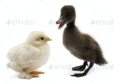 Mallard or wild duck, Anas platyrhynchos, a 3 week old dabbling duck and chick
