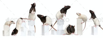 Collage of Fancy Rats, 1 year old, on boxes in front of white background