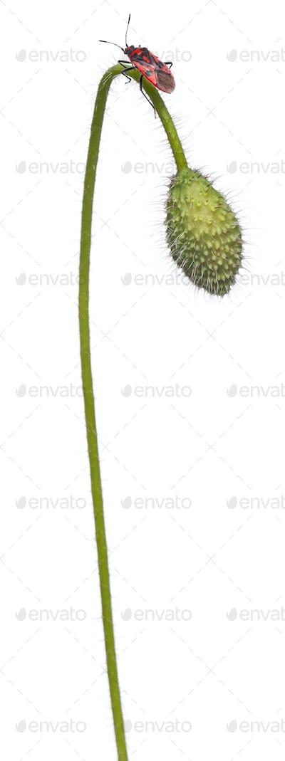 Scentless plant bug, Corizus hyoscyami, on poppy in front of white background