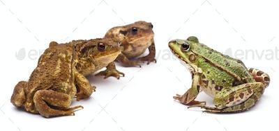 Common European frog or Edible Frog, Rana kl. Esculenta, facing common toads or European toads