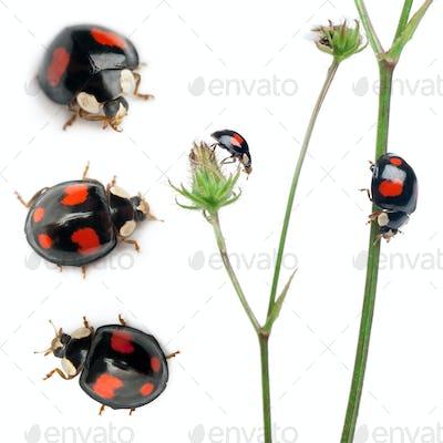 Asian lady beetles, or Japanese ladybug or the Harlequin ladybird, Harmonia axyridis