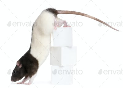 Fancy Rat, 1 year old, climbing off boxes in front of white background
