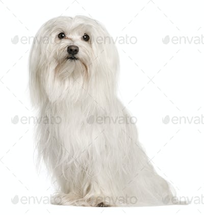 Maltese dog, 5 years old, sitting in front of white background, studio shot