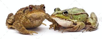 Common European frog or Edible Frog, Rana kl. Esculenta, next to  common toad or European toad,