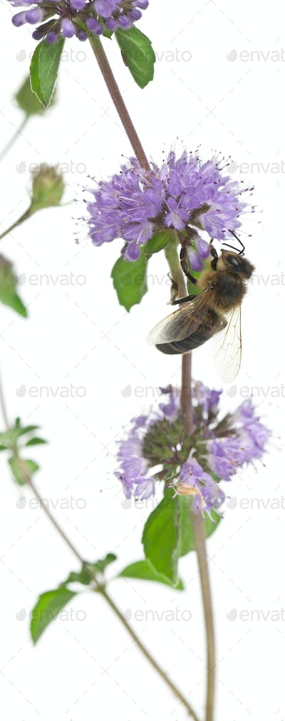Female worker bee, Anthophora plumipes, on plant in front of white background