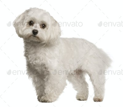 Maltese dog, 4 years old, sitting in front of white background, studio shot