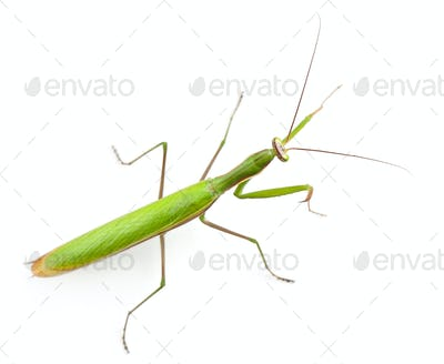 Female European Mantis or Praying Mantis, Mantis religiosa, in front of white background