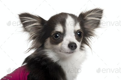 Chihuahua in pink, 1 year old, in front of white background