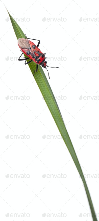 Scentless plant bug, Corizus hyoscyami, on blade of grass in front of white background