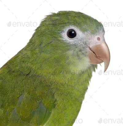 Close-up of White-winged Parakeet, Brotogeris versicolurus, 5 years old