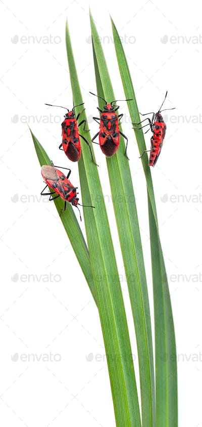 Pastoral composition of Scentless plant bugs (Corizus hyoscyami) on leaves