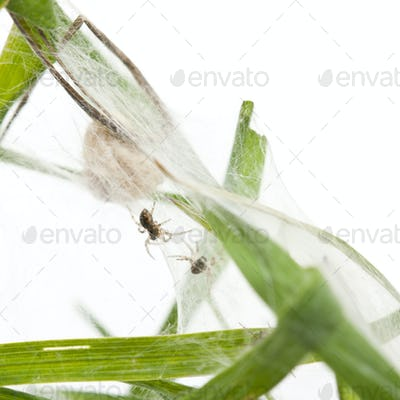 Nursery web spider, Pisaura mirabillis, spiderlings in nest in front of white background