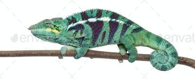 Panther Chameleon Nosy Be, Furcifer pardalis, in front of white background