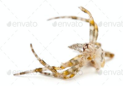 Moulting of European garden spider, Araneus diadematus, in front of white background