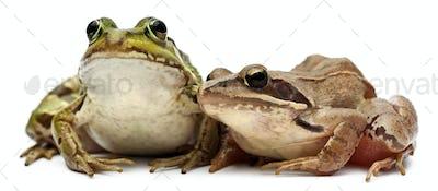 Common European frog or Edible Frog, Rana esculenta, and a Moor Frog, Rana arvalis,