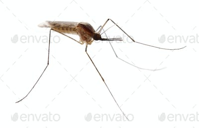 Common gnat, Culex pipien, in front of white background