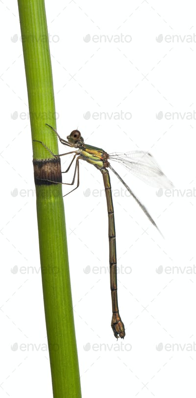 Willow Emerald Damselfly or the Western Willow Spreadwing, Lestes viridis, on plant stem