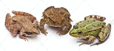 Common European frog or Edible Frog, Rana kl. Esculenta, next to a common toads or European toad