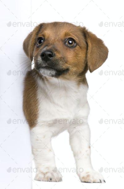 jack russel terrier puppy peeking around white board against white background (3 months old)