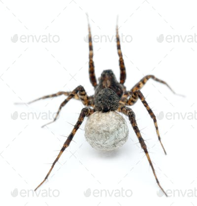 Female Pardosa lugubris carrying her egg-sac in front of white background