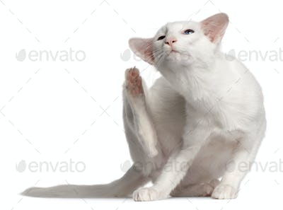 Balinese cat, 1 year old, scratching in front of white background