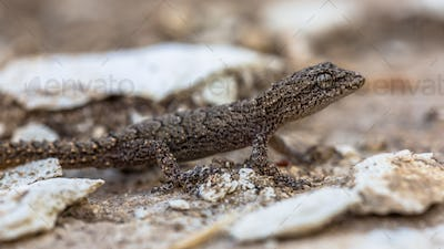 Gecko on light colored rock